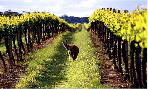 Great Australian wines